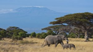 Elephants in front of Mt Kilimanjaro